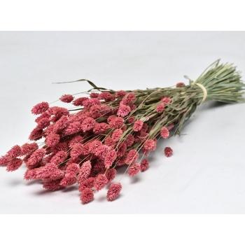 Phalaris séché en fagot avec traitement de la couleur rose