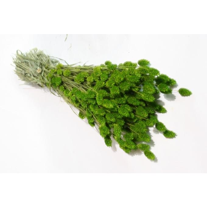 Phalaris séché en fagot avec traitement de la couleur vert