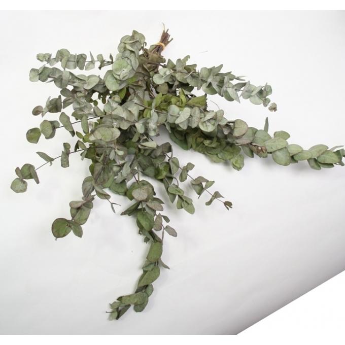 Botte séché Eucalyptus Cinerea