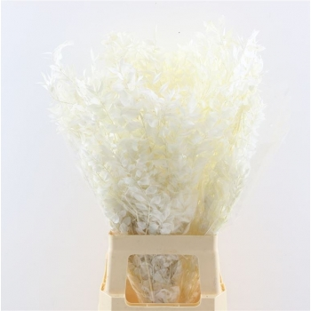 Ruscus blanchi