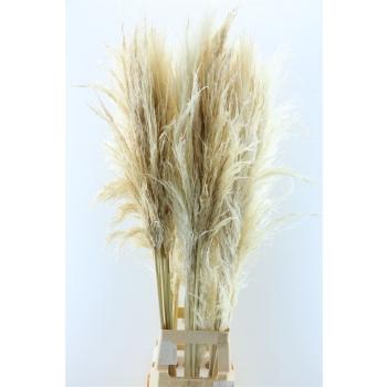 Herbe de Pampas séchée blanchi (3 plume)