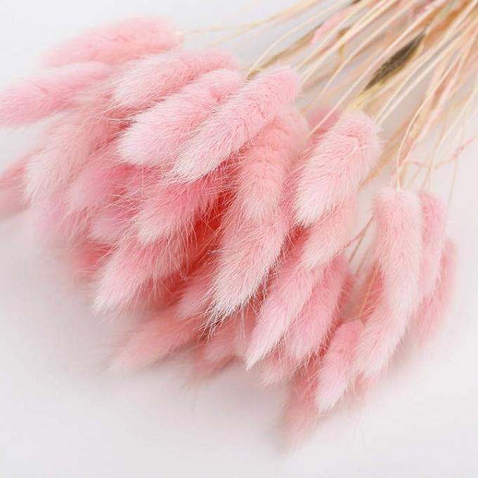 Lagurus Ovatus séché de couleur rose pâle