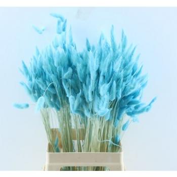 Lagurus Ovatus séché de couleur pâle bleu