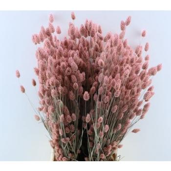 Phalaris blanchi séché rose givré en fagot