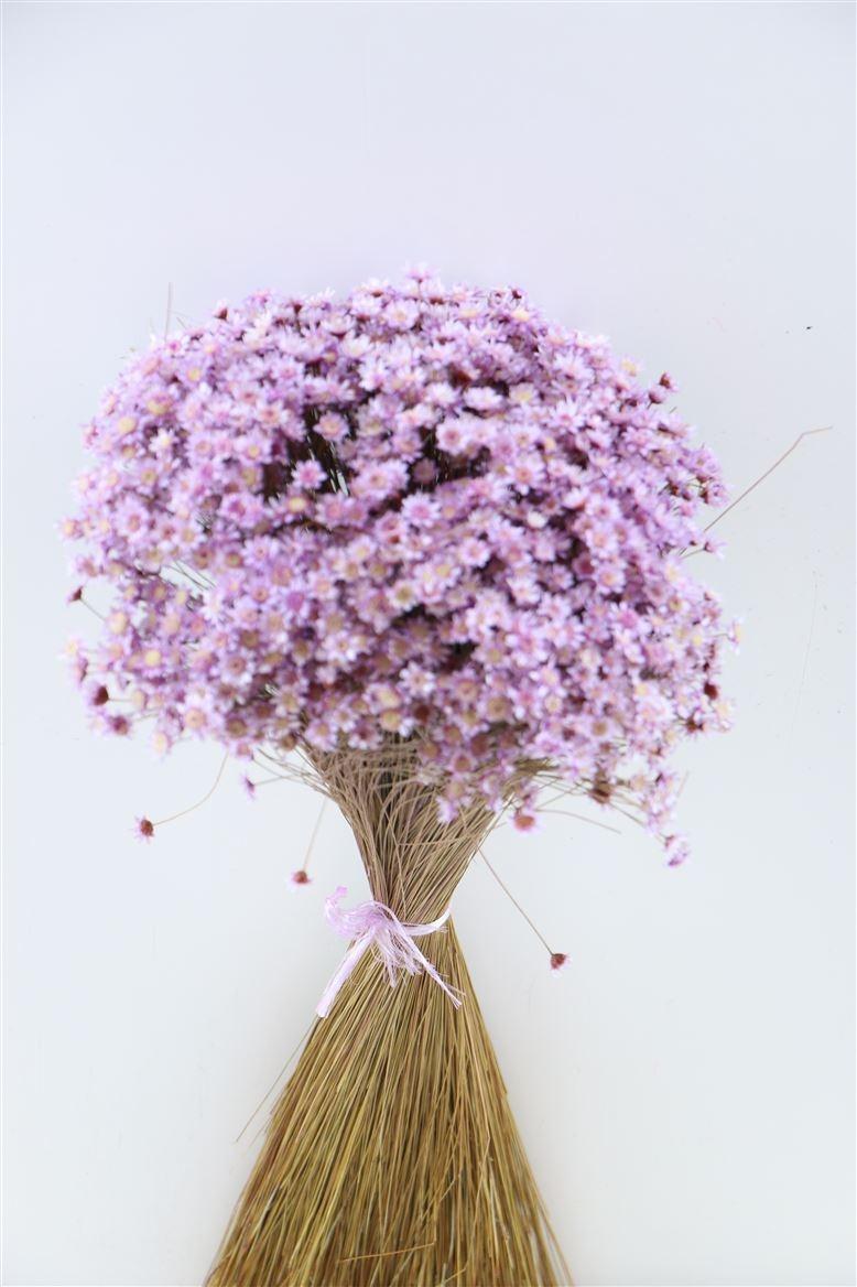 Glixia (Star flower) lavender séchée