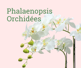 Orchidees phalaenopsis
