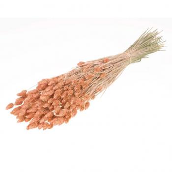 Brume de corail séché Phalaris