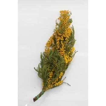 Mimosa jaune séché