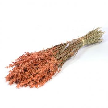 Avoine séchée (Avena) de couleur orange