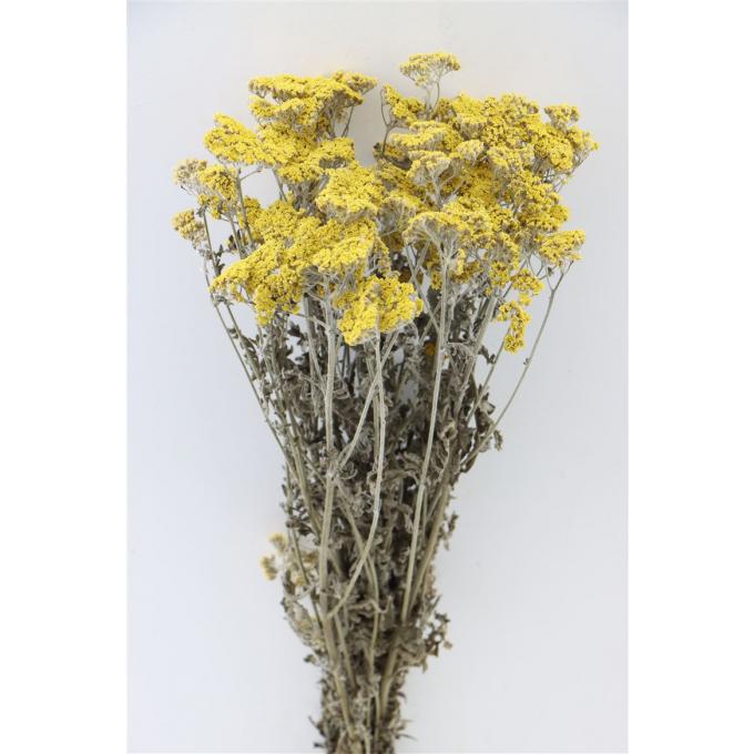 Achillée Moonshine séchée jaune