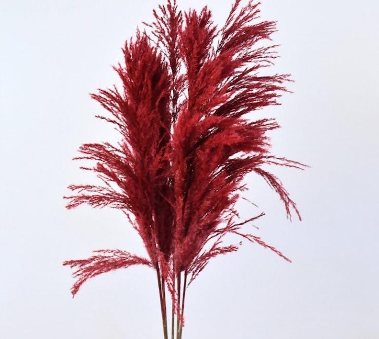 Herbe de la Pampa Plume rouge séchée